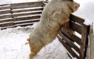 Кармалы порода свиней — описание, характеристика, уход и кормление