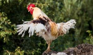 Методы того, как отличить петуха от курицы