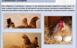 Как узнать, сколько живет курица?