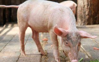 Как использовать стимуляторы для свиней?