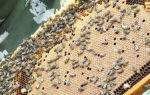 Какие особенности пчел бакфаст?