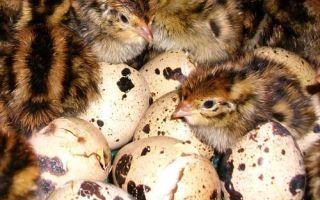 Как проходит инкубация перепелиных яиц?