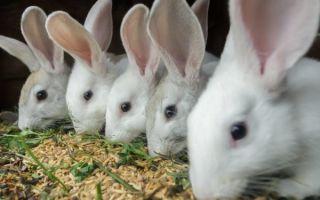 Как проходят роды крольчихи?