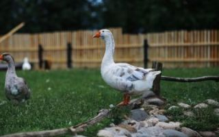 Советы о том, чем кормить гусей