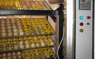 Какие правила инкубации утиных яиц?