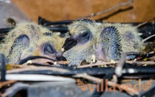 Инструкция о том, чем кормить птенца голубя