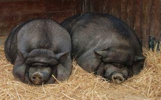 Как содержать вьетнамских свиньей?