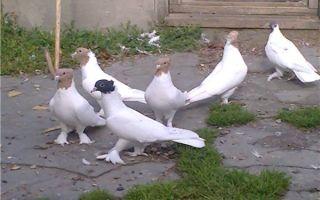 Возможно ли узнать, сколько живут голуби?