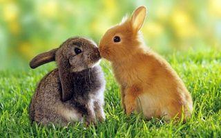 Как вылечить ушной клещ у кроликов?