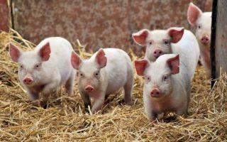 Какая нормальная температура у свиней?