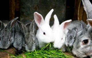 Полезна ли свекла для кроликов?