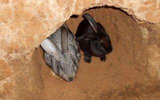 Как разводить кроликов в яме?