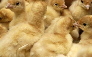 Инкубация индюшиных яиц в домашних условиях температура и влажность