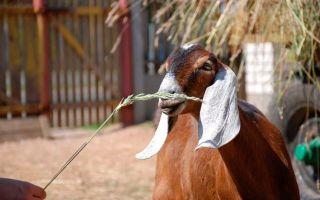Как кормить зааненских коз?