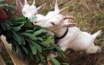 Чем лечить понос у козы?