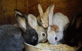 Как вылечить вздутие у кроликов?
