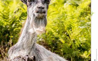 Какие характеристики горной козы?