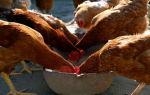 Как осуществить кормление кур-несушек?