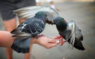 Чем можно и нельзя кормить голубей на улице, что едят в домашних условиях, правильный рацион