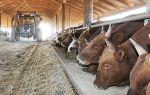 Как осуществить откорм бычков на мясо?