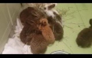 Как выкормить крольчат без крольчихи, сколько раз кормить и каким молоком