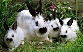 Как осуществить откорм кроликов?