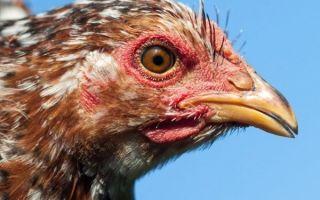 Какие преимущества орловских кур?