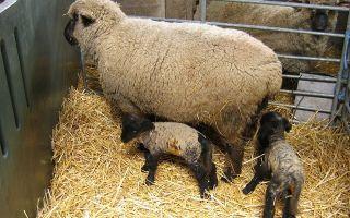 Как осуществить разведение овец?