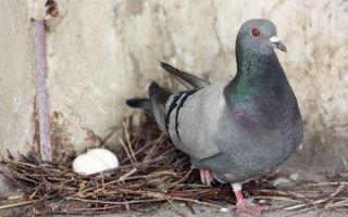 Как размножаются голуби, высиживание и рождение птенцов, выбор птиц для спаривания