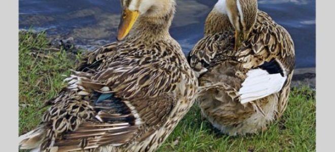 Какие особенности башкирской утки?