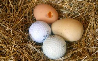 Что делать, если куры клюют яйца?