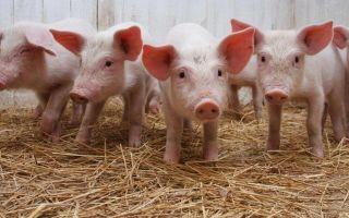 Узнаем, чем кормить свиней