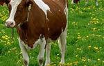 Чем лечить кетоз у коров?
