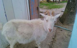 Как протекает беременность у козы?