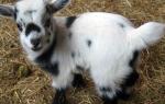 Карликовые козы: характеристика камерунской породы, разведение, особенности