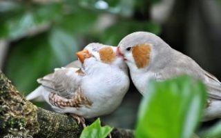 Какие существуют домашние птицы для содержания?