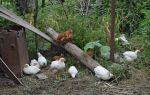 Мини-мясные куры: описание породы, содержание и разведение, фото