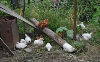 Как содержать мини мясных кур?