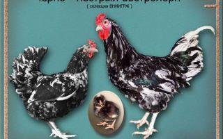 Какие бывают породы черных кур?