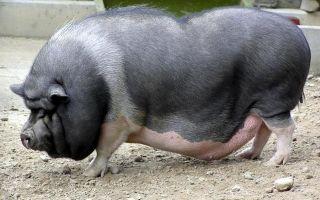 Какие характеристики мясных пород свиней?