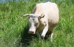 Сколько длится беременность у коровы?