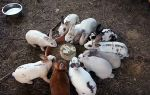 Как лечить глисты у кроликов?