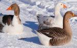 Дикая утка в домашних условиях, чем кормить зимой и летом, сколько живут