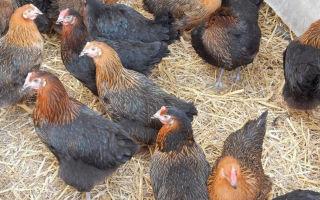 Разбираемся, сколько яиц несет курица