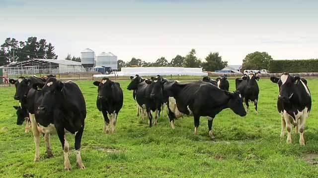 Лейкоз у коровы: Признаки болезни у КРС, можно ли пить молоко и есть мясо больных животных