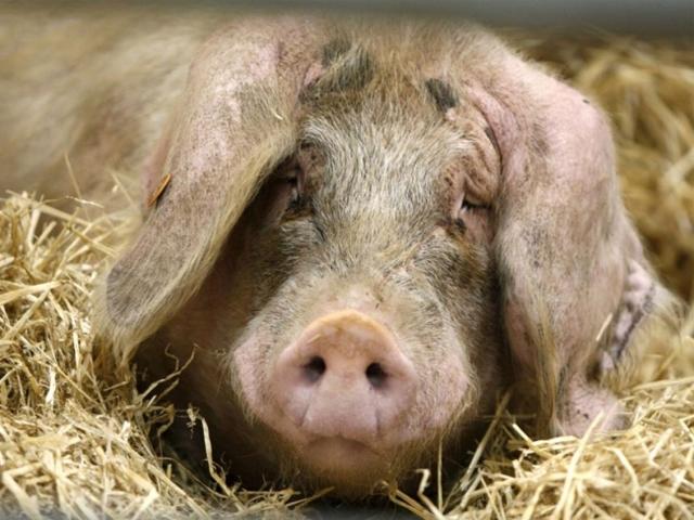 Рожа у свиней: симптомы и лечение в домашних условиях, можно ли есть мясо больного животного