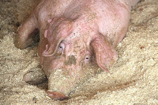 Африканская чума свиней: чем опасна для человека, происхождение болезни, карантин