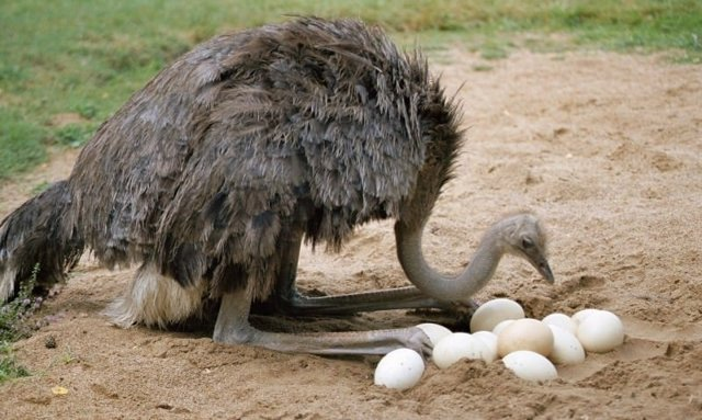 Сколько весит страус и страусиное яйцо: размеры, описание, характеристики