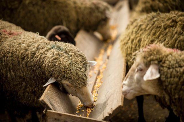 Чем кормить овец в домашних условиях, рацион кормов и их нормы, особенности кормления