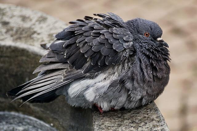 Чем болеют голуби: распространенные болезни, симптомы, первые признаки и лечение